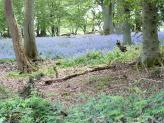 Lowercommon Wood Bluebells, South Oxfordshire.
