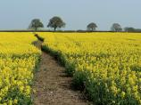 A bright yellow field in Oxfordshire.
